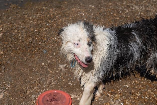 Szalony mokry owczarek australijski blue merle pies bawi się latającym spodkiem w pobliżu rzeki, na piasku, lato. baw się ze zwierzętami na plaży. podróżuj ze zwierzętami.