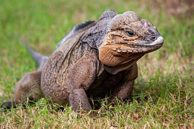 Szara iguana w dzikiej przyrodzie na dominikanie