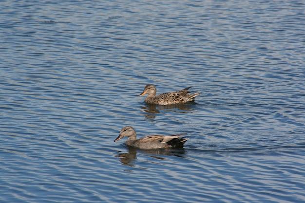 Szara kaczka pływa w niebieskim jeziorze w słoneczny dzień w lecie.