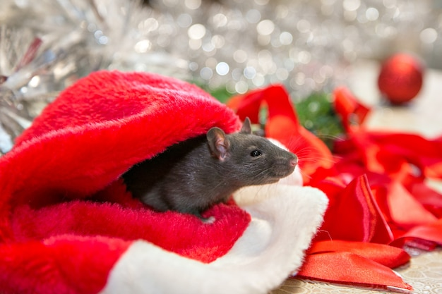 Szara mysz idzie wśród atrybutów noworocznych. zwierzę przygotowuje się do bożego narodzenia. uroczystości, kostiumy, dekoracje. symbol roku 2020. rok szczura. czerwony napis 2020