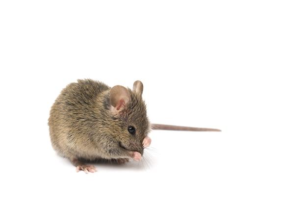 Szara mysz na białym tle