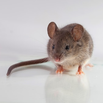 Szara mysz, strzał z bliska na jasnym tle