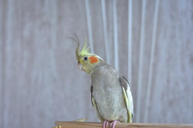 Szara papuga nimfa siedzi na okonie, szara papuga