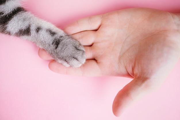 Szara pasiasta łapa kota i ludzka ręka na różu. przyjaźń mężczyzny ze zwierzakiem, dbająca o zwierzęta.