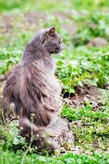 Szara, puszysta cipka siedzi na pniu w trawie i patrzy przed siebie