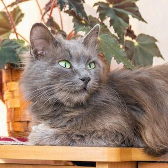 Szara, puszysta cipka siedzi w pobliżu rośliny doniczkowej i ostrożnie patrzy w górę. portret kota z bliska