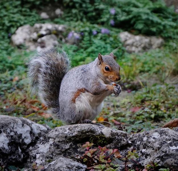 Szara wiewiórka lisa wschodniego w lesie