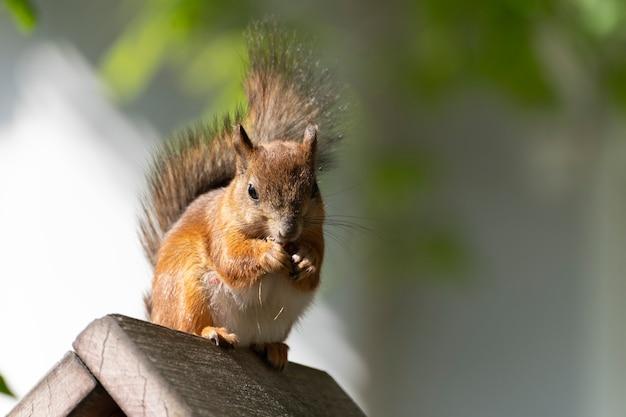 Szara wiewiórka na podajniku. śliczna futrzana wiewiórka je nakrętka.