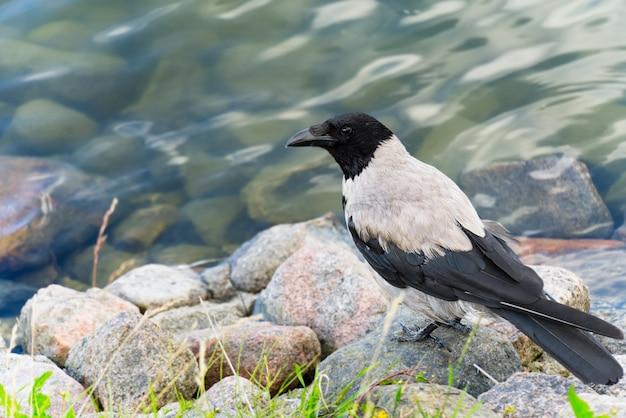 Szara wrona siedzi na kamieniu nad bałtykiem.