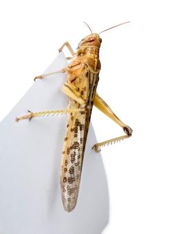 Szarańcza pustynna (schistocerca gregaria) to gatunek szarańczy, okresowo rojącej się konika polnego z krótkimi rogami