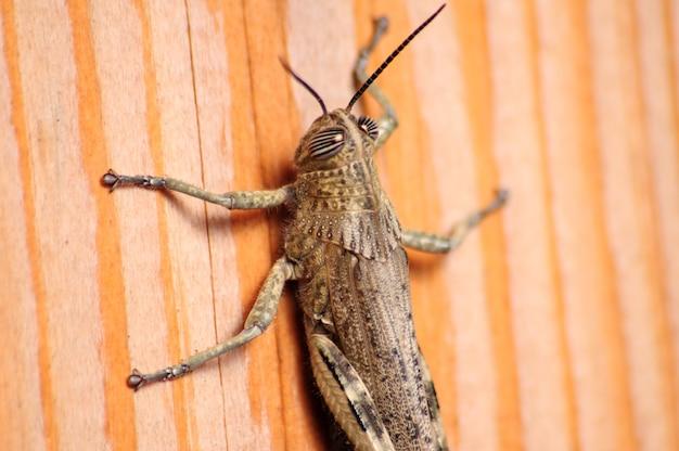 Szarańcza szara, szkodliwa roślinność zjadająca owady