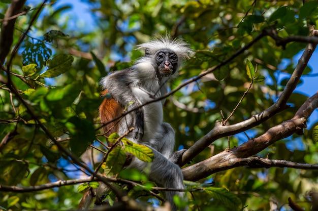 Szare i brązowe colobine dziecko siedzi na gałęzi drzewa w dżungli