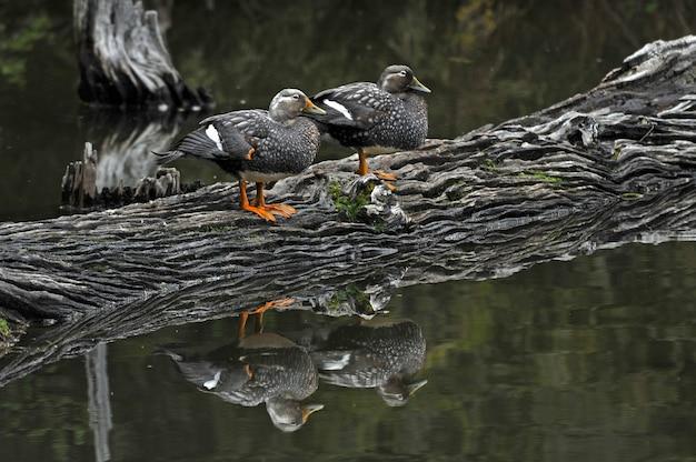 Szare kaczki krzyżówki stojące na ciężarówce w jeziorze