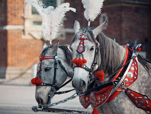 Szare konie w czerwonych uprzężach ozdobione kępkami piór i pomponami, rynek główny w krakowie