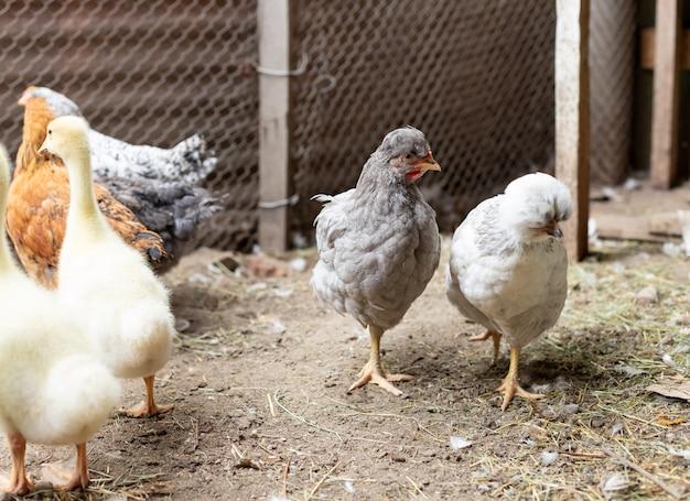 Szare kurczaki w kurniku.