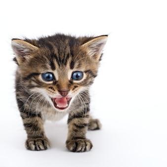 Szare paski kotek stojący na białym tle