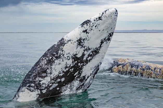 Szare wieloryby wypływające na powierzchnię w lagunie san ignacio na morzu cortes w baja california