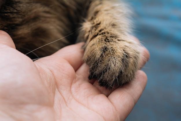 Szarobrązowy kot daje człowiekowi łapę na znak przyjaźni i zaufania