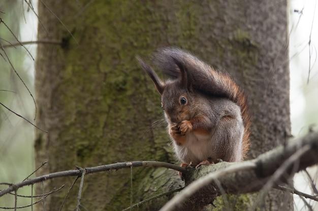 Szaroczerwona wiewiórka jedząca orzech
