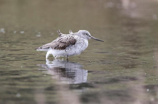 Szarotka zwyczajna podczas migracji wiosennej podczas postoju odpoczywa przed kontynuacją migracji.