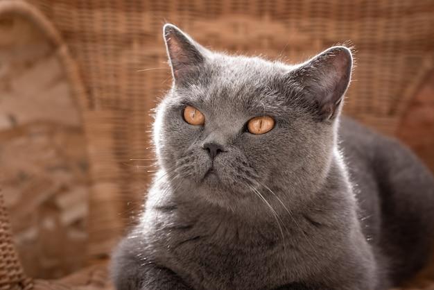 Szary brytyjski kot leżący na wiklinowym fotelu na werandzie