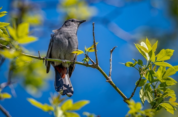 Szary catbird, dumetella carolinensis