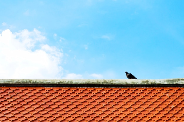 Szary, czarny gołąb lub gołąb (columba livia) stoi na pomarańczowym dachu dachówka z błękitne niebo