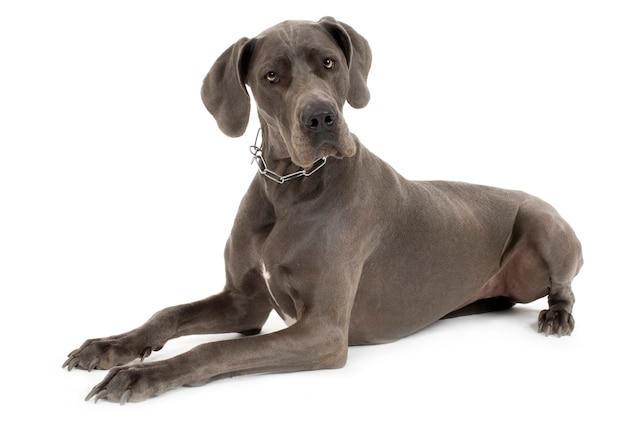 Szary dog niemiecki. portret psa na białym tle