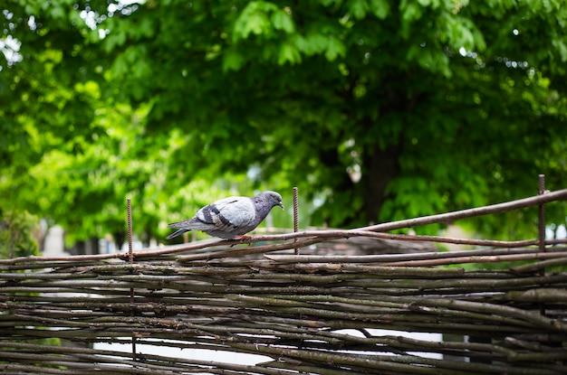Szary gołąb na drewnianym płocie