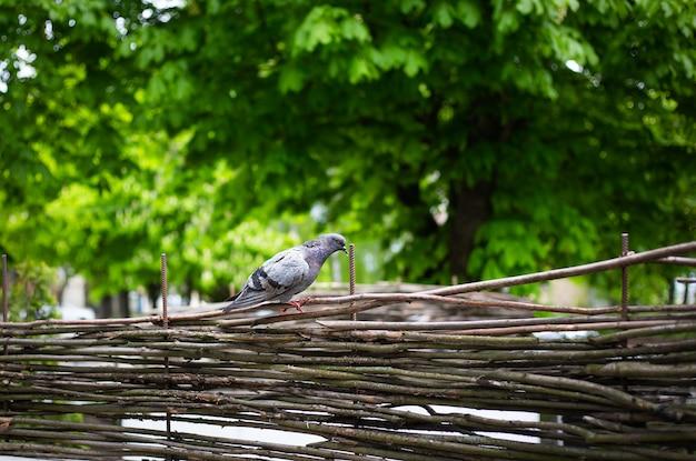 Szary gołąb siedzi na drewnianym płocie w parku.