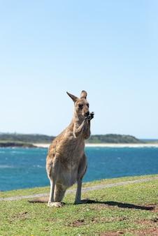 Szary kangur bawi się rękami na zielonej łące odrobina morza krajobraz w tle.