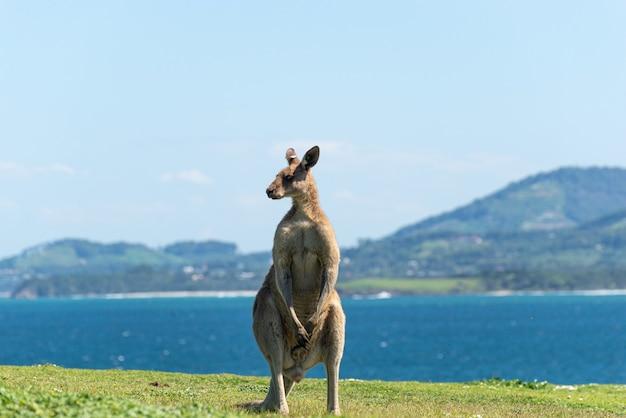 Szary kangur stojący na zielonej łące odrobina morza krajobraz w background.wildlife concept