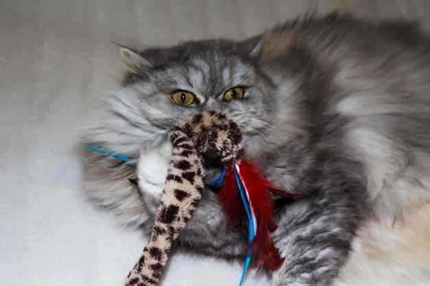 Szary, kawaii, uroczy, puszysty kot scottish highland straight longhair z dużymi pomarańczowymi oczami i długimi wąsami w łóżku w domu. zamknij się portret.
