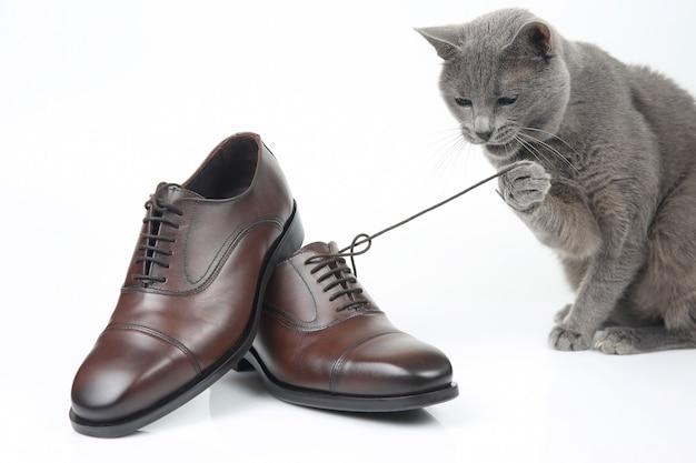 Szary kot bawi się na białym tle klasycznym koronkowym brązowym męskim butem