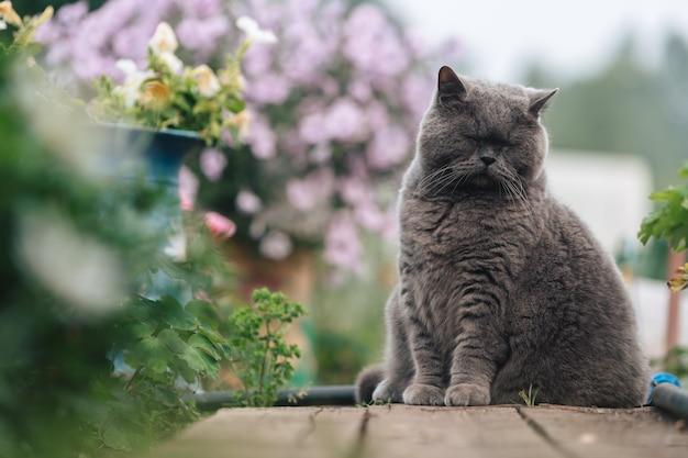 Szary kot brytyjski siedzi na drewnianym chodniku obok klombu z zielenią.