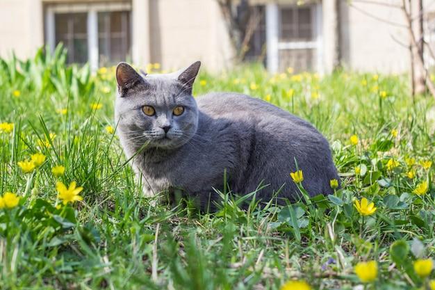 Szary kot brytyjski siedzi w zielonej trawie z żółtymi kwiatami.