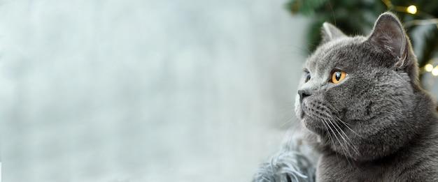 Szary kot brytyjski z świątecznych prezentów na temat świąt