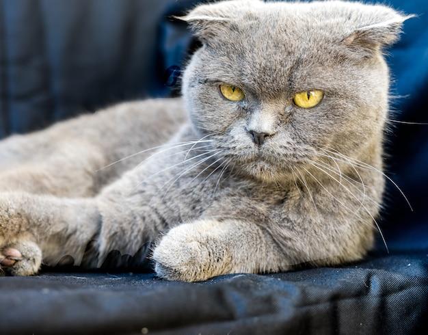 Szary kot chartreux o żółtych oczach i wściekłym spojrzeniu
