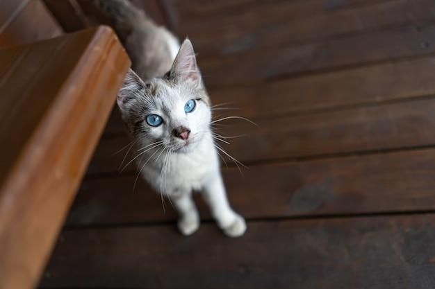 Szary kot domowy o niebieskich oczach.