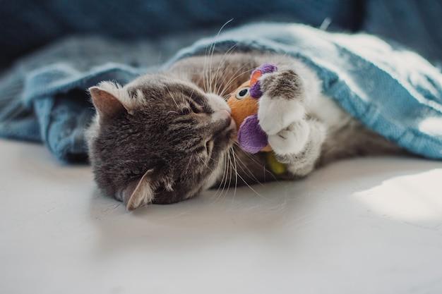 Szary kot leży pod niebieskim kocem i bawi się zabawką.