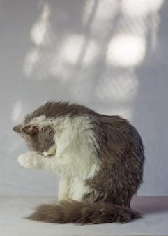 Szary kot ma łapy na twarzy