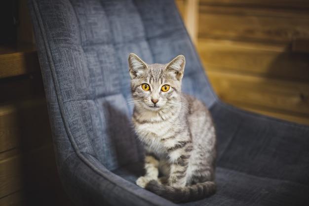 Szary kot na krześle patrzy w kamerę