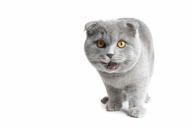 Szary kot o pięknych oczach