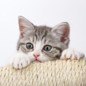 Szary kot ostrzy pazury na białym tle