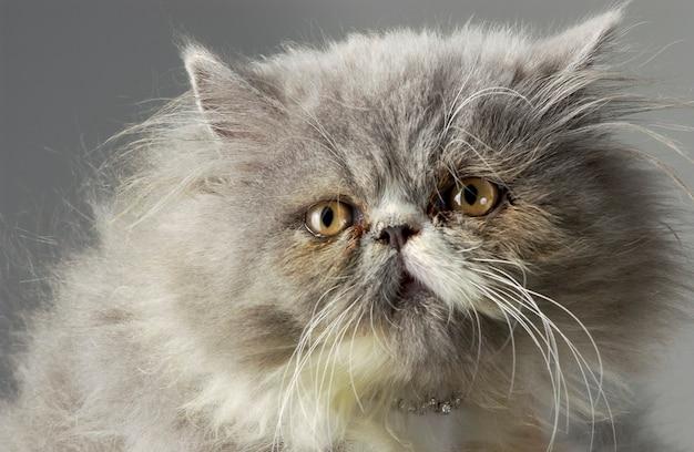 Szary kot perski w zbliżeniu
