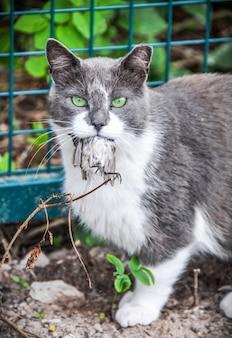 Szary kot po polowaniu w ogrodzie