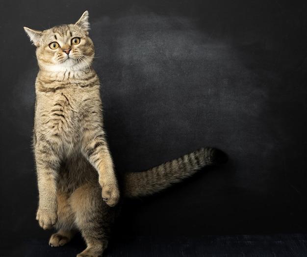 Szary kot rasy szynszyla brytyjska prosta stoi na tylnych łapach, czarna powierzchnia, kopia przestrzeń