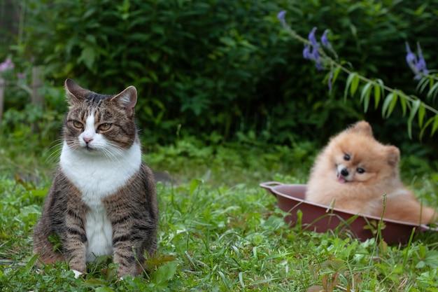Szary kot siedzi na podwórku na zielonej trawie za małym kocurkiem