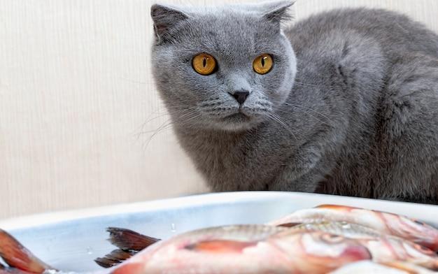Szary kot siedzi przy misce z rybą i czeka na pozwolenie właścicieli.