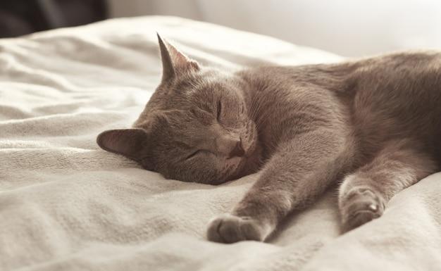 Szary kot śpi na łóżku. rosyjski niebieski kot relaksujący